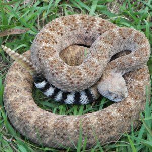 Crotalus atrox - Western diamondback rattlesnake