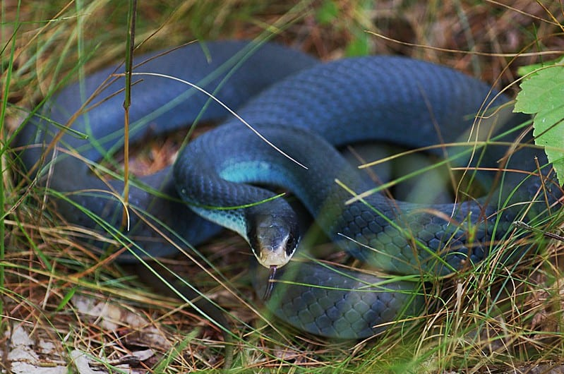 Blue racer Coluber constrictor foxii in Michigan