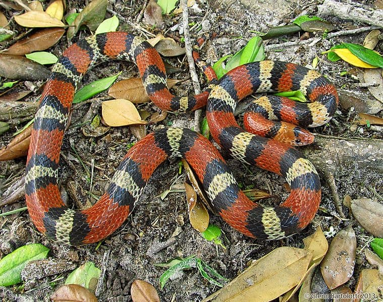 Cemophora coccinea Scarlet Snake black red white or yellow