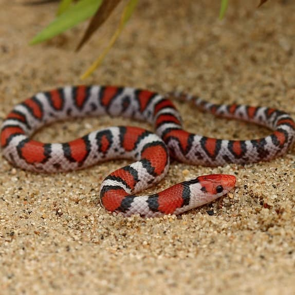 Cemophora coccinea Scarlet Snake information and overview