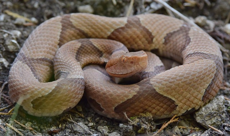 Copperhead snake brown lightbrown thick body brown bands