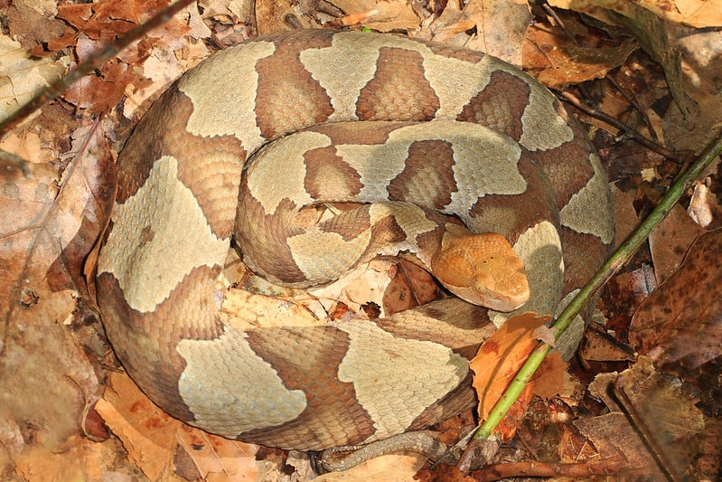 Copperhead snake camouflage brown beige in autumn leaves