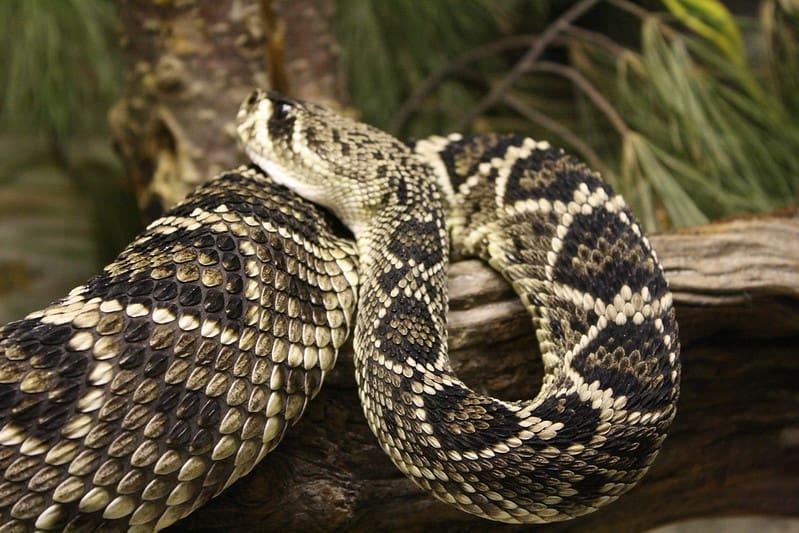 Eastern Diamondback Rattlesnake in Florida