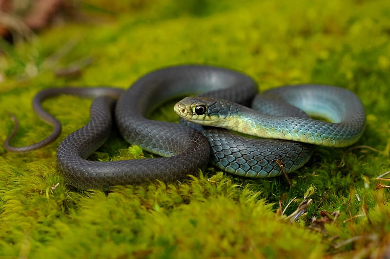Eastern Yellow-Bellied Racer Coluber constrictor flaviventris found in habitat in Missour forest