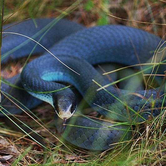Eastern racer Coluber constrictor in the United States overview