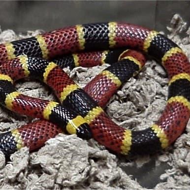 Micrurus Tener – Texas Coral Snake