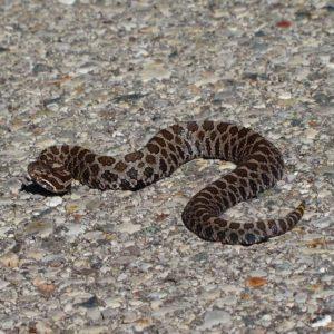 Sistrurus Catenatus - Massasauga Snake information and overview range and venom info