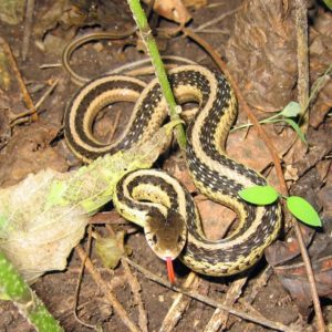 Thamnophis Sirtalis - Common Garter Snake information and subspecies overview