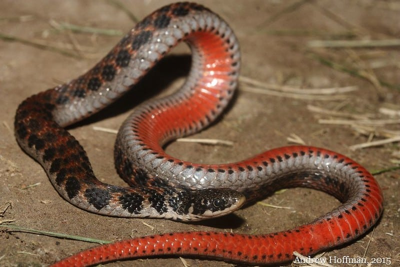 Brown snake with dark black spots and red belly in ohio is the kirtland's snake