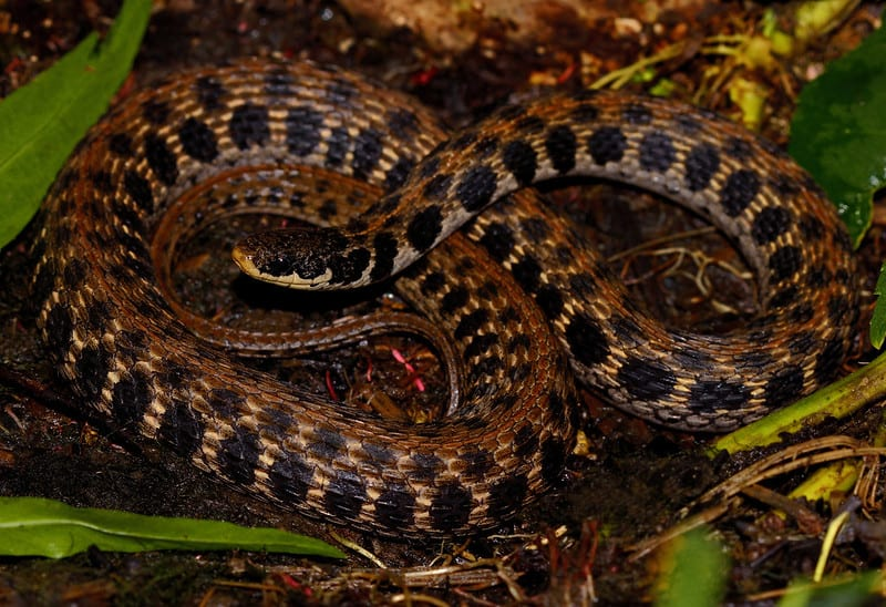 Brown snake with dark spots blotches look like squares in Illinois Kirtland's snake