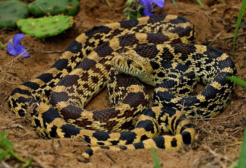 Bullsnake - Pituophis catenifer sayi in forest in illinois