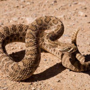 Crotalus Viridis - Western Rattlesnake prairie rattlesnake in Montana