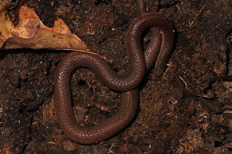 Eastern Worm Snake - Carphophis amoenus amoenus found in Virginia