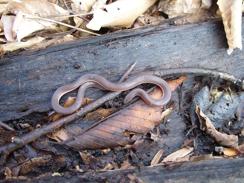 Eastern Worm Snake brown and pink snake small
