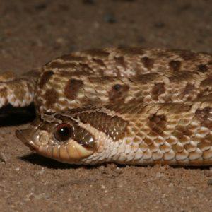 Heterodon Nasicus - Western Hognose Snake information