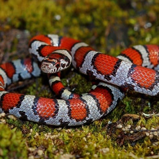 Lampropeltis Triangulum – Milk Snake