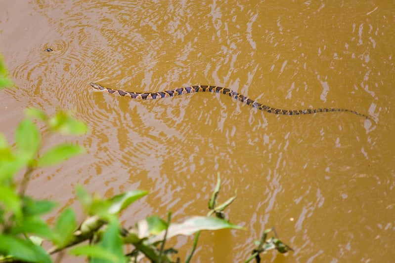 Large water snake swimming brown blotches with lighter patterns