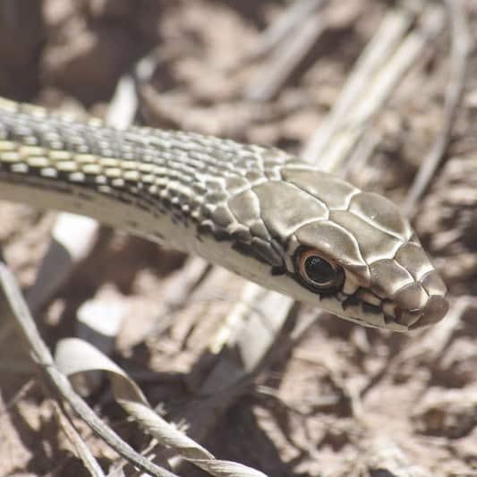 Masticophis Taeniatus – Striped Whipsnake