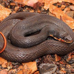 Nerodia Erythrogaster - Plain-Bellied Water Snake information