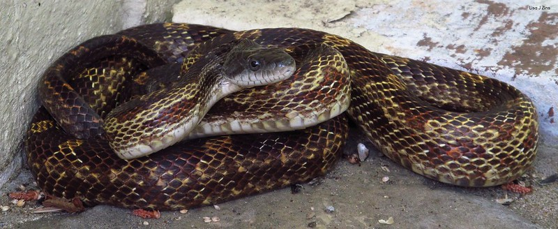 Pantherophis Spiloides - Grey Rat Snake with brown patterns found in Tennessee