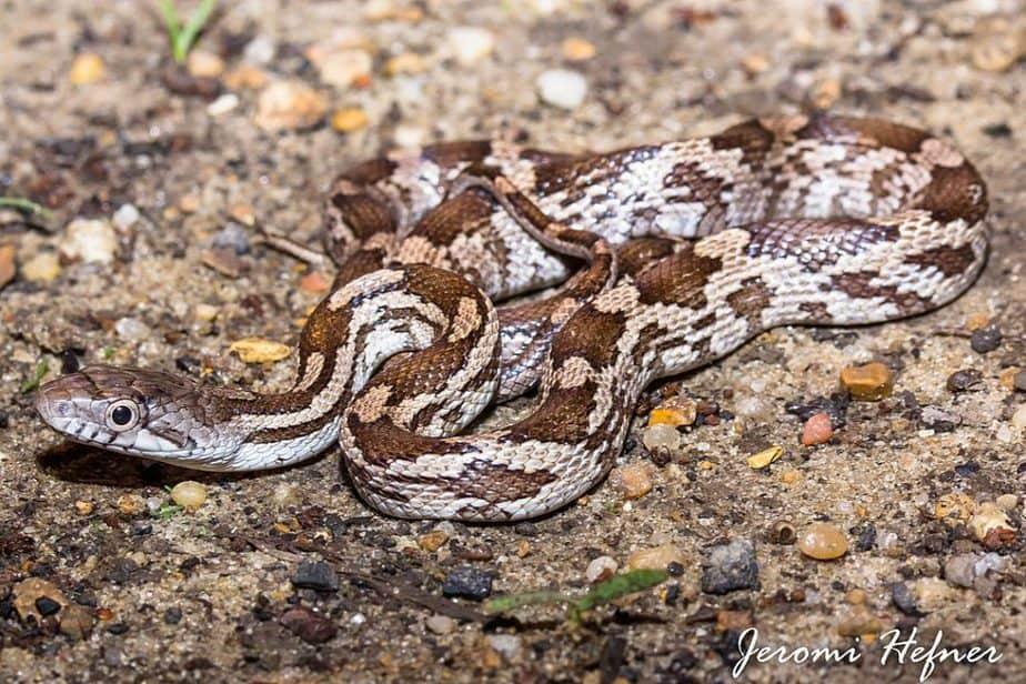 Pantherophis Spiloides - juvenile Grey Rat Snake brown blotches on grey snake