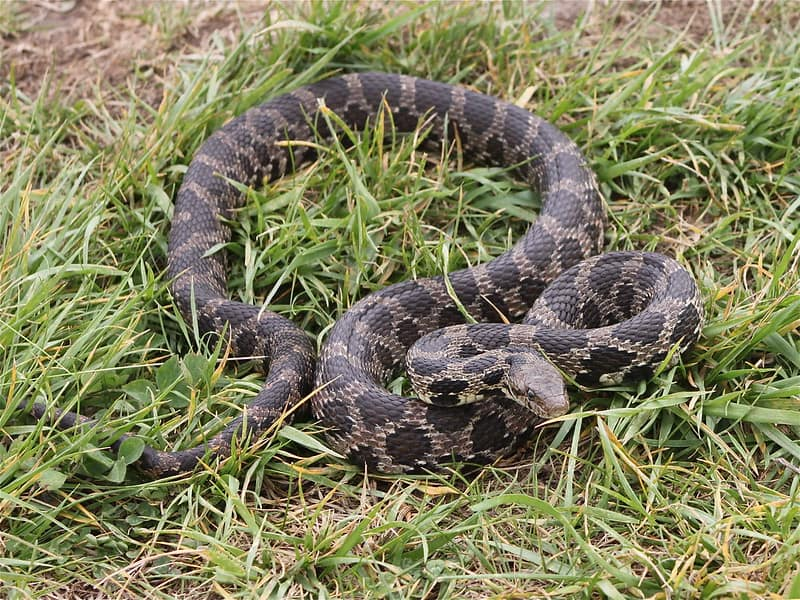 Pantherophis vulpinus eastern fox snake found in Illinois, previously considered pantherophis gloydi