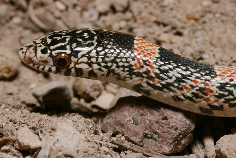 Rhinocheilus Lecontei - Long-Nosed Snake head red pupils