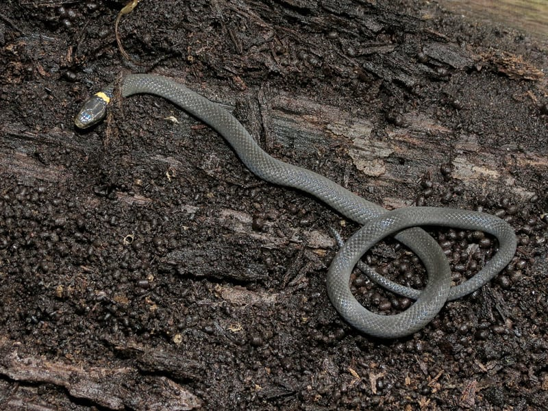 Ring-necked snake with curled up red tail