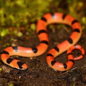 Sonora Semiannulata - Western Ground Snake information