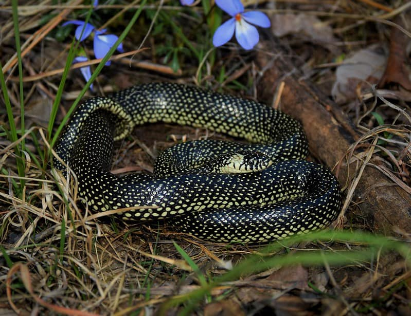 Speckled kingsnake found in Missouri central United States. Black and yellow snake with spots small dots of yellow
