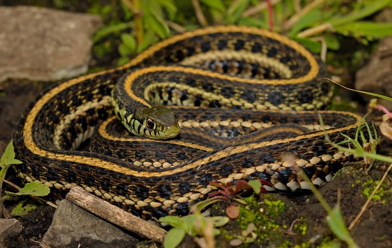 Thamnophis Radix - Plains Garter Snake in Illinois adult black dark snake with yellow stripes or lines