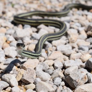 Thamnophis Sauritus - Ribbon Snake information and overview