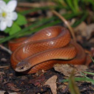 Virginia Valeriae - Smooth Earth Snake virginia valeriae elegans western smooth earth snake