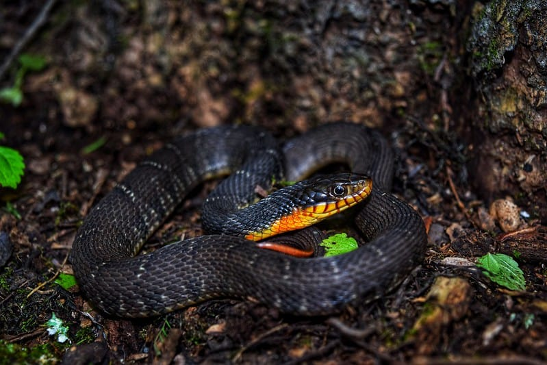 Yellow bellied water snake (Nerodia Erythrogaster)