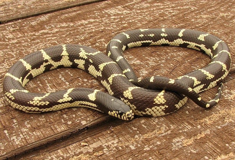 california kingsnake brown or black snake with yellow stripes or cross bands