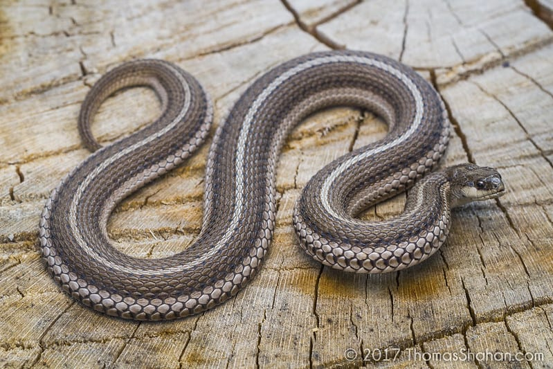 lined snake found in Oklahoma Tropidoclonion