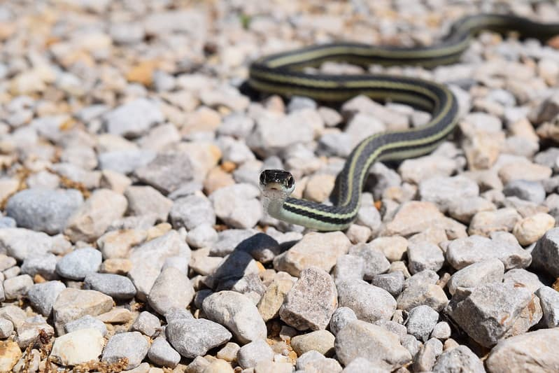 ribbon snake Thamnophis sauritus black snake with three stripes longitudinal lines yellow, green blue light colored
